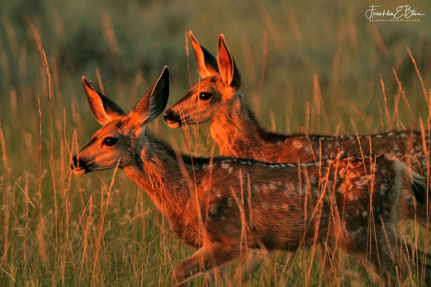 Deer Twins Golden Hour