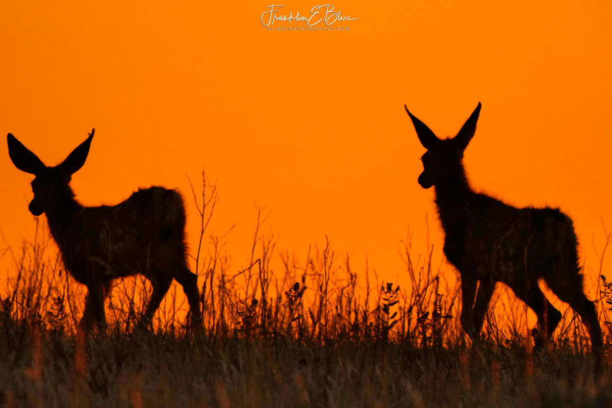 Fawns Watching the Sunset