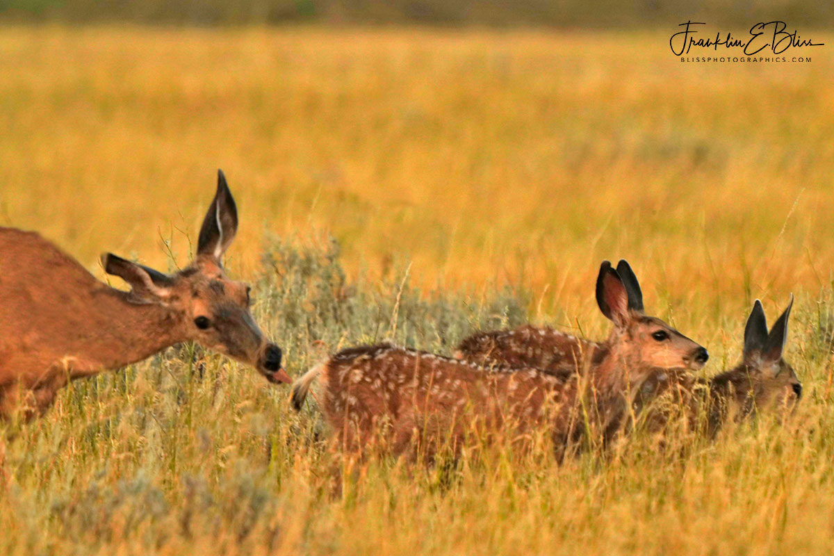 Mother Nipping Fawns Tail