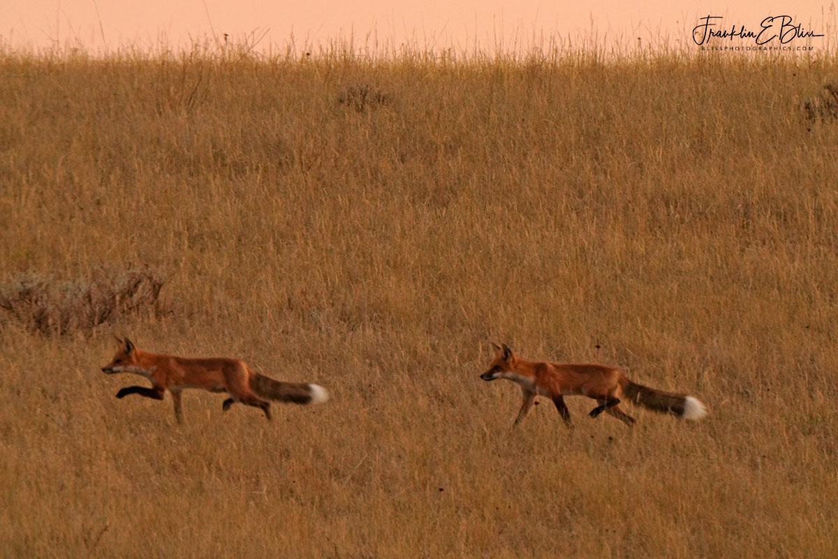 Red Fox Siblings Hunting