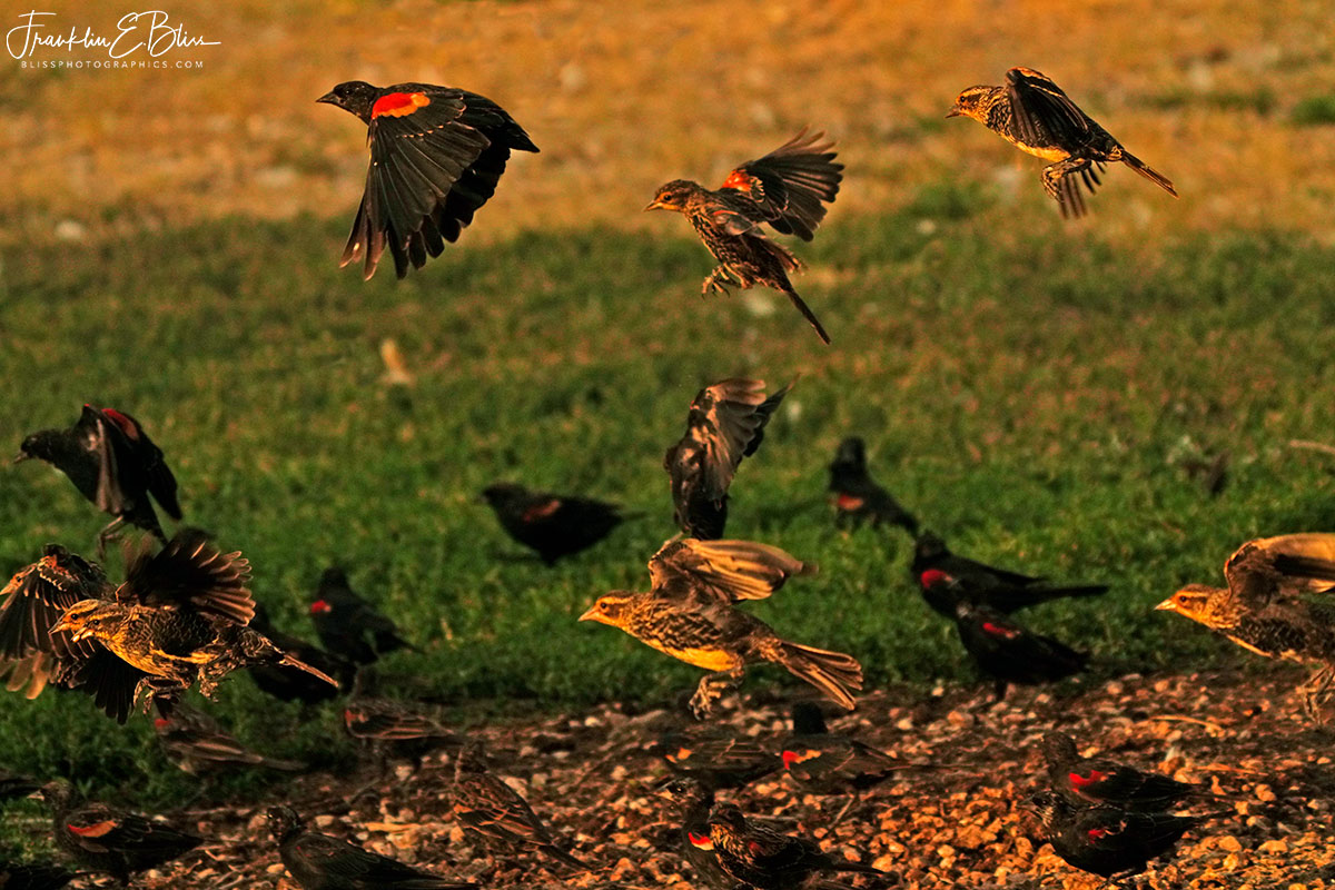 Meadowlarks and Red Wing Blackbirds
