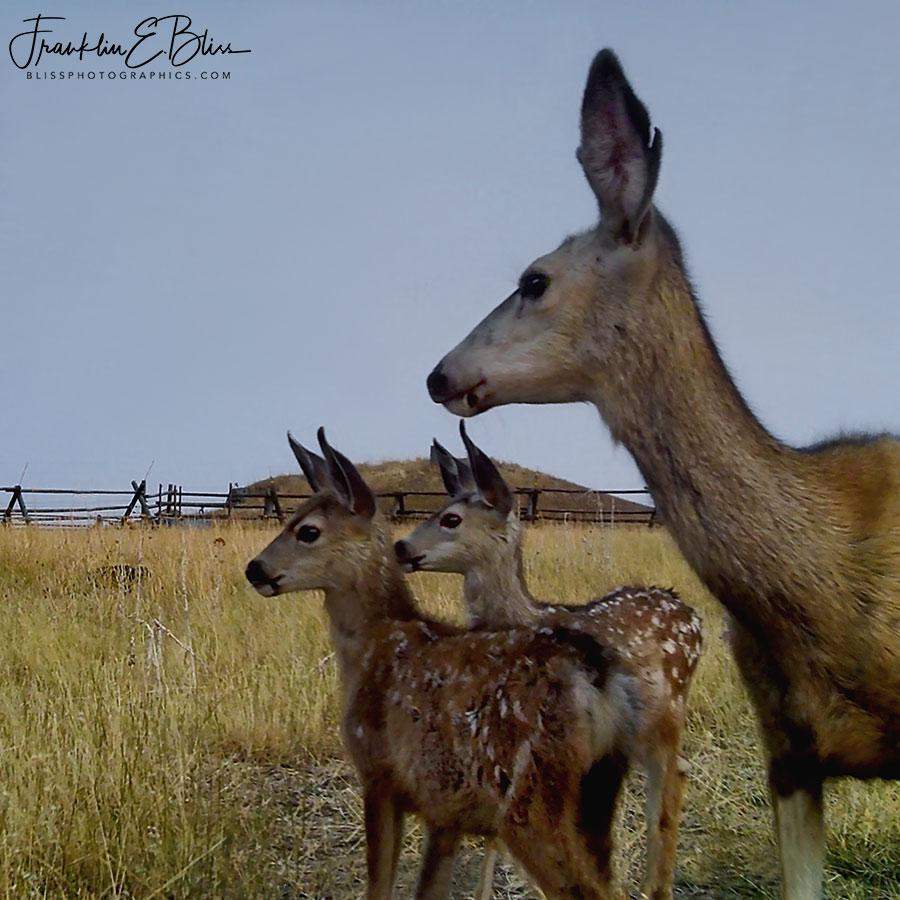 Mule Deer Family Portrait