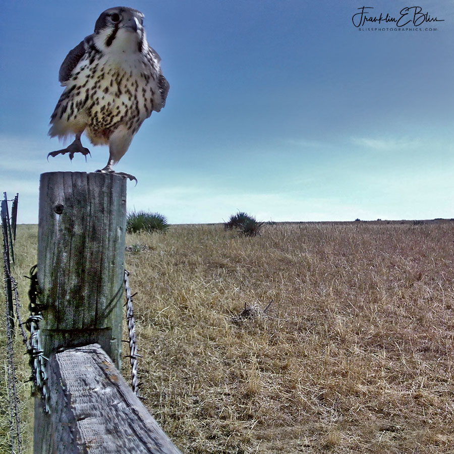 Prancing Prairie Falcon and Post