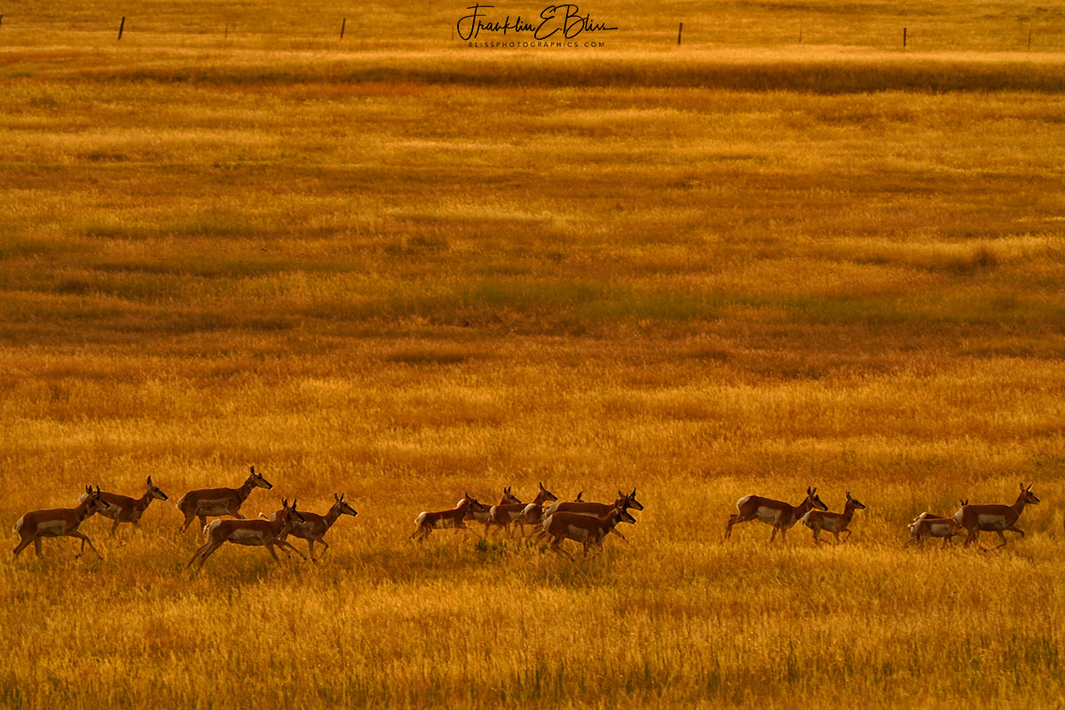Pronghorn Herd Moving Along