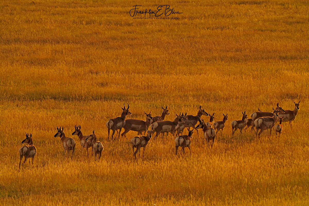 Herd of Pronghorn Hanging