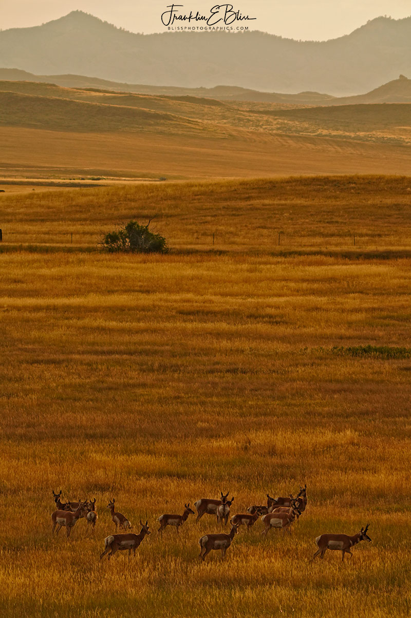 Pronghorn Herd on the Plains