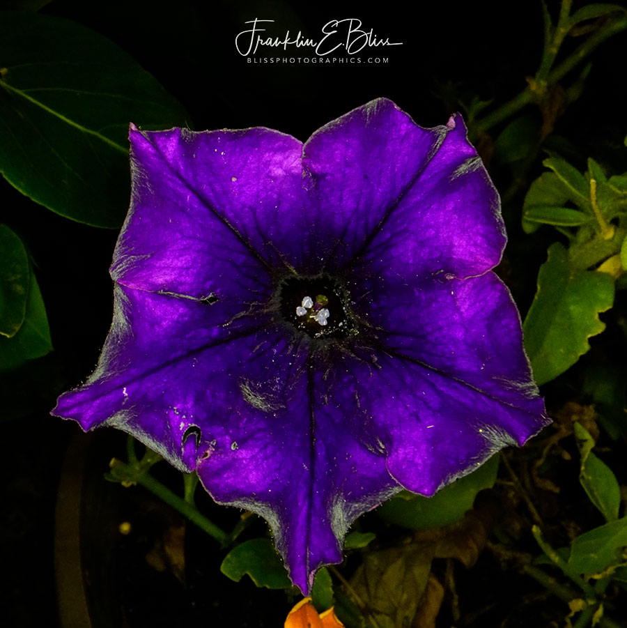 Purple Petunia in the Dark