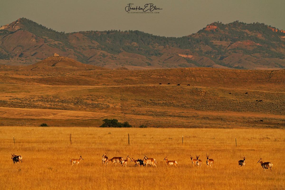 Pronghorn Herd Red Hills