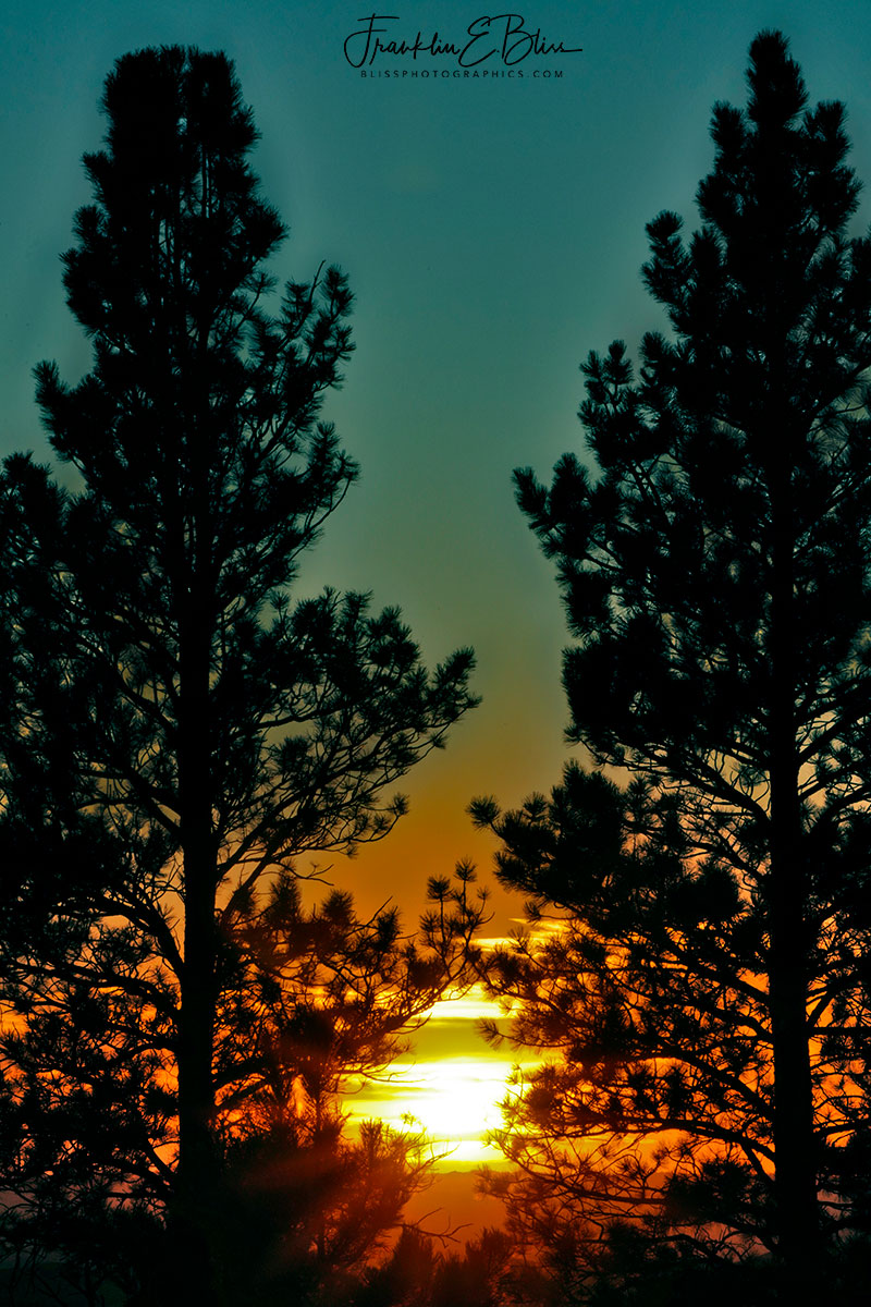 Pine Pillars at Sunset
