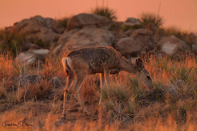 Deer Grazing in the Light 090520D