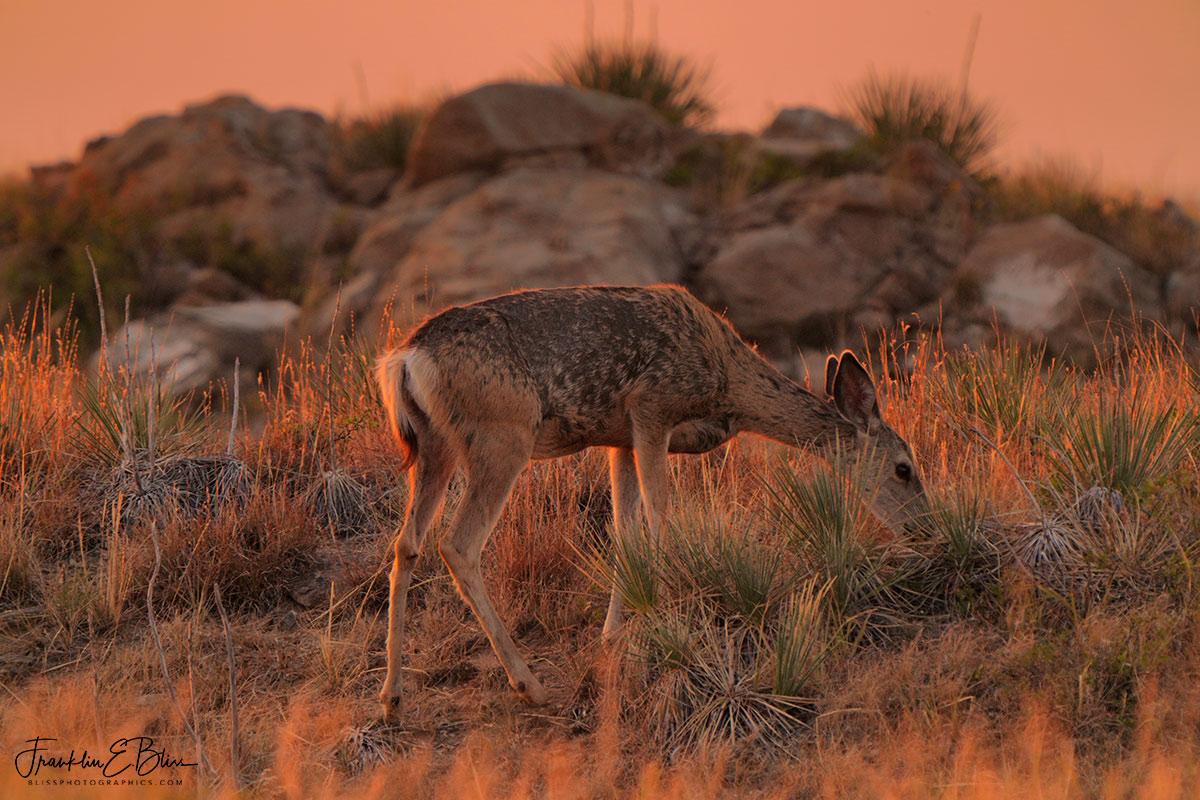 Deer Grazing in the Light