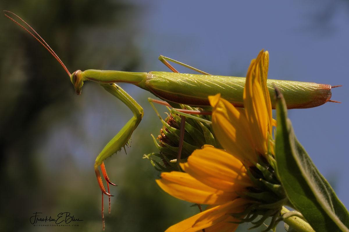 Mantis on the Last Flower