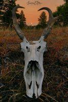 Pronghorn Buck Definitely Smoked091420C
