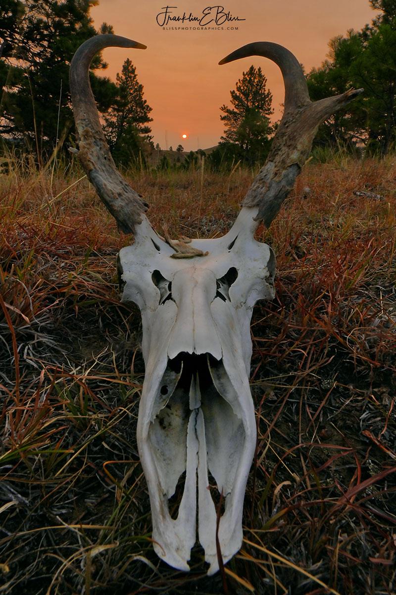 Pronghorn Buck Definitely Smoked