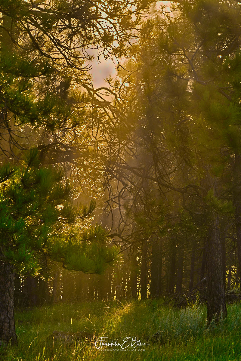 Forest Light Through the Pall
