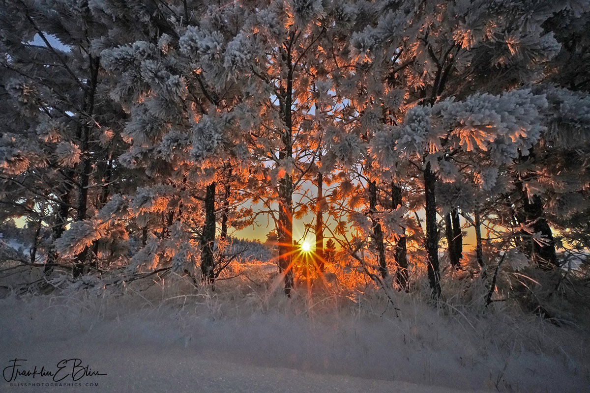 Sunrise Through the Snowy Pines
